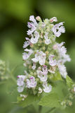 Catnip. The flower from a catnip herb plant Royalty Free Stock Photo