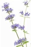 Catnip flowers (Nepeta cataria) Stock Image