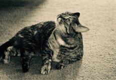 Catnip Kitty Royalty Free Stock Photo