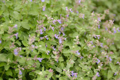 Catnip (nepeta cataria) stock photos