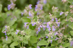 Catnip (nepeta cataria). Catnip in bloom, shot with shallow depth of field Stock Photo