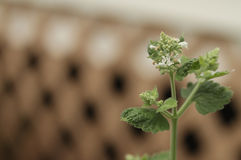 Catnip plant closeup with blooms Stock Image