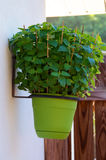 Catnip plant in hanging pot Royalty Free Stock Photography