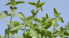 Catnip plants. Sway in the wind under blue sky stock video footage