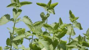 Catnip plants stock video footage