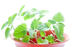 Catnip plants. With vibrant green leaves in a hotchpotch royalty free stock image