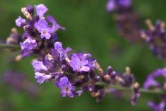 Catnip viola del fiore in giardino domestico rustico ecologico Immagini Stock