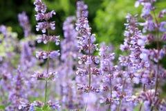 Catnipen blommar (nepetaen) royaltyfri fotografi