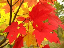 Catoctin Maples Royalty Free Stock Image