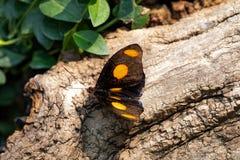 Catonephele Numilia fjäril arkivbild