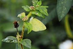 Catopsilia pyranthe. (Mottled Emigrant) resting on leaf Stock Photography