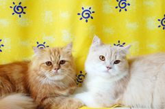 Cats. Two long hair persian cat close up Royalty Free Stock Images