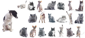Cats. Collection of a cats isolated over white background (five breeds) + 1 bonus dog royalty free stock photo