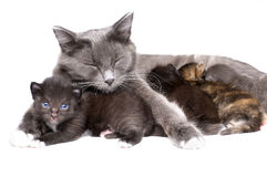 Cats. The mum-cat embrace with little kittens, lie on white bakground, isolated stock photos