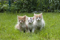 Cats. Three cute kittens on the green grass Stock Photography