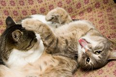 Cats. Some cat with beautiful pose, smiling and sticking one's tongue out Stock Image