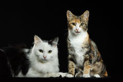Cats. Beautiful cats in study with black background Stock Images