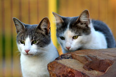 Cats. Two Cats Stock Image