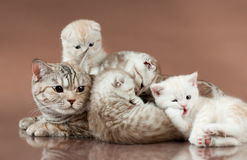 Cats. Family group of four  beautiful kitten with mother, breed scottish-fold,  lie on brown  background Royalty Free Stock Photo