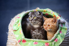 Cats. Two lovely young cats focus at something stock images
