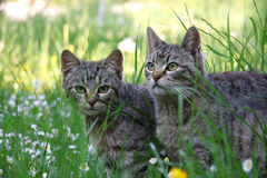 Cats. Two grey cat on the grass Stock Photography