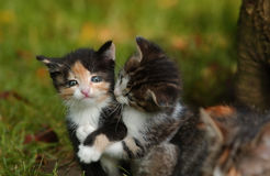 Cats. Brother and sister in a age of 6 weeks Royalty Free Stock Photo