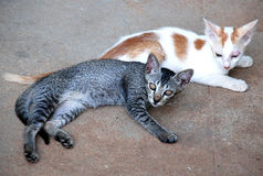Cats. Two cats in white and grey lying on the floor Royalty Free Stock Photography