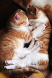 Cats. Two sleeping kittens hug one another Royalty Free Stock Photo