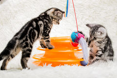 Cats. Animal play funny lovely cute pets friend kitten beautiful naughty Royalty Free Stock Photos