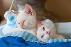Cats asleep. Pair of white cats asleep on each other Stock Photo