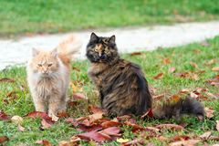 Cats in autumn park. Tortoiseshell and red cats in love walking on colorful fallen leaves outdoor. Cats in autumn park. Tortoiseshell and red cats in love Stock Images