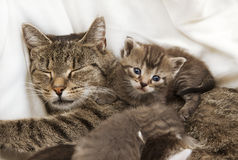 Cats babies cuddle with mother. A heap of cat is cuddly babies on their mother Stock Photography