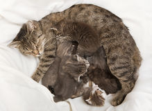 Cats babies drink at her mother. A heap of cat is cuddly babies on their mother Stock Photography