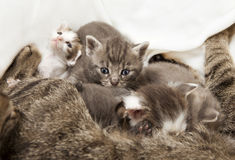 Cats babies suckled. A heap of cat is cuddly babies on their mother Royalty Free Stock Photos