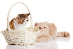 Cats with bascet isolated on white background cat domestic animal Stock Photo