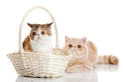 Cats with bascet isolated on white background persian cat Royalty Free Stock Images