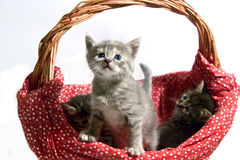 Cats in basket Stock Photography