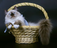 Cats in a basket. Stock Image