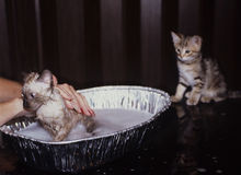 Cats Bath Time. One unhappy kitten is being bathed while another one waits his turn Stock Photo