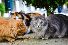 Cats. Beautiful cats  eating outdoor and looking at the camera Stock Images