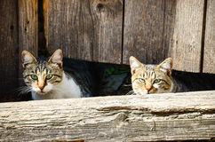 Cats. Beautiful cats outdoor looking  near  a wooden door Stock Photography