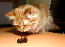 Cats beetle Stock Images