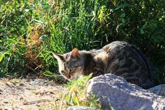 A watchful cat. Cats, belonging to felines, are divided into domestic cats and wild cats and are the most widely used pets in the world. The ancestors of the Royalty Free Stock Photos