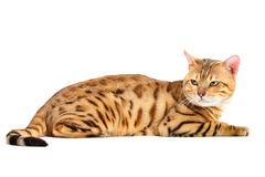 Cats Bengal breed. Royalty Free Stock Photo