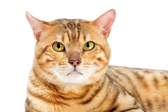 Cats Bengal breed. Royalty Free Stock Images