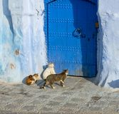 Cats on blue street in Medina Chefchaouen Stock Photos