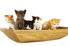 Cats in a Bowl Stock Photography