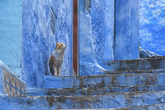 Cats of Chefchaouen, the blue pearl of Morocco. The beautiful blue medina of Chefchaouen in Morocco Stock Photos