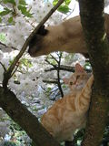 Cats in a Cherry Blossom Tree Royalty Free Stock Photos