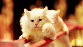 Cats in the circus stock footage